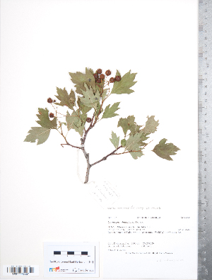 (Crataegus almaatensis - TRT117)  @11 [ ] Copyright (2012) Tim Dickinson Royal Ontario Museum