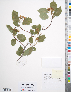 (Crataegus douglasii - TRT240)  @11 [ ] Copyright (2012) Tim Dickinson Royal Ontario Museum