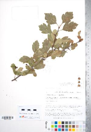 (Crataegus monogyna x suksdorfii - TRT207)  @11 [ ] Copyright (2012) Tim Dickinson Royal Ontario Museum