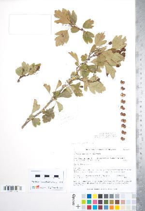 (Crataegus monogyna x suksdorfii - TRT208)  @11 [ ] Copyright (2012) Tim Dickinson Royal Ontario Museum