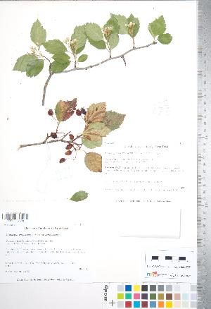 (Crataegus chrysocarpa - TRT238)  @11 [ ] Copyright (2012) Tim Dickinson Royal Ontario Museum