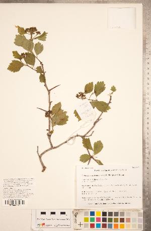 (Crataegus castlegarensis - TRT277)  @11 [ ] Copyright (2012) Tim Dickinson Royal Ontario Museum