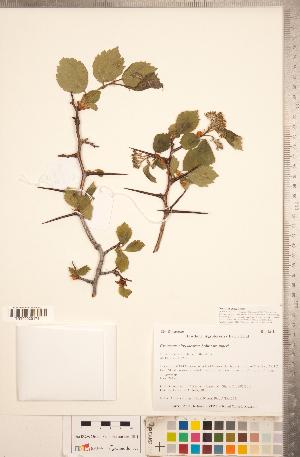 (Crataegus chrysocarpa var. piperi - TRT273)  @11 [ ] Copyright (2012) Tim Dickinson Royal Ontario Museum