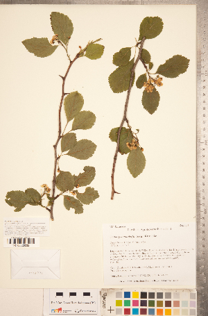 (Crataegus suksdorfii - TRT232)  @11 [ ] Copyright (2012) Tim Dickinson Royal Ontario Museum