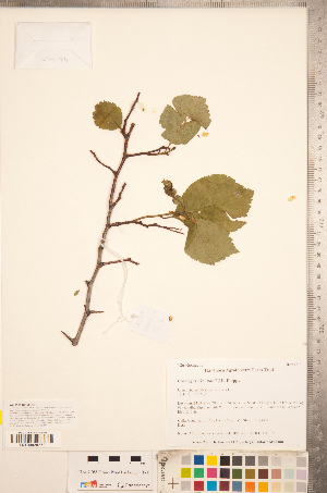 (Crataegus indet - TRT196)  @11 [ ] Copyright (2012) Tim Dickinson Royal Ontario Museum