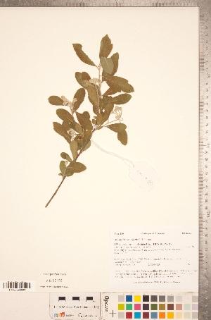 (Crataegus canescens - TRT086)  @11 [ ] Copyright (2012) Tim Dickinson Royal Ontario Museum