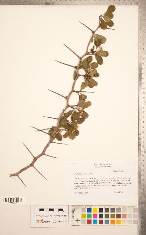 (Crataegus crus-galli - TRT252)  @11 [ ] Copyright (2012) Tim Dickinson Royal Ontario Museum