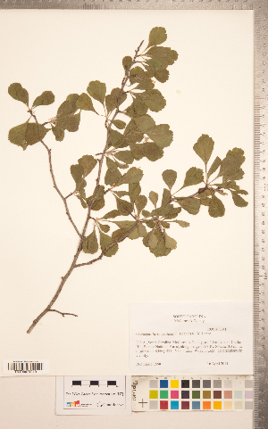 (Crataegus lassa Beadle - TRT254)  @11 [ ] Copyright (2012) Tim Dickinson Royal Ontario Museum