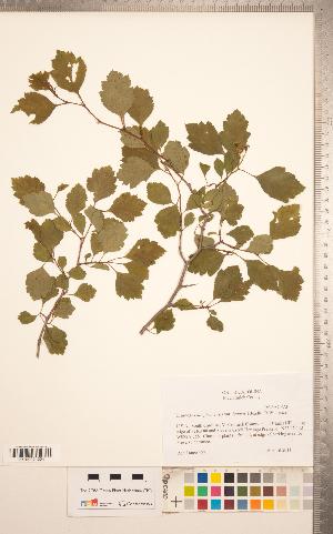 (Crataegus extraria Beadle - TRT261)  @11 [ ] Copyright (2012) Tim Dickinson Royal Ontario Museum