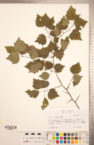(Crataegus iracunda Beadle - TRT255)  @11 [ ] Copyright (2012) Tim Dickinson Royal Ontario Museum