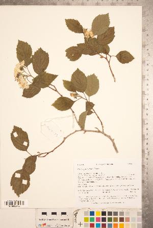 (Crataegus triflora - TRT107)  @11 [ ] Copyright (2012) Tim Dickinson Royal Ontario Museum