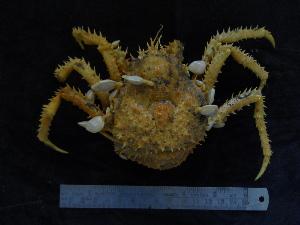 (Paralomis - UNMDP-TAL II-III_026)  @14 [ ] CreativeCommons - Attribution Non-Commercial Share-Alike (2014) Unspecified Laboratorio de Zoología de Invertebrados
