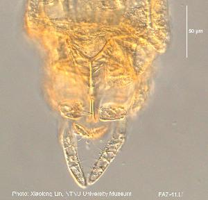 (Caladomyia - FA7-41)  @11 [ ] CreativeCommons-Attribution Non-Commercial Share-Alike (2016) NTNU University Museum, Department of Natural History NTNU University Museum, Department of Natural History