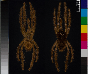 (Poecilotheria rufilata - BL-1036WK-E05)  @15 [ ] CreativeCommons - Attribution Non-Commercial (2014) Michael Morra Centre for Biodiversity Genomics