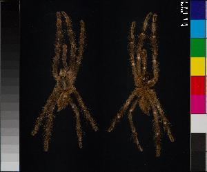(Poecilotheria subfusca - BL-1036WK-A02)  @15 [ ] CreativeCommons - Attribution Non-Commercial (2014) Michael Morra Centre for Biodiversity Genomics
