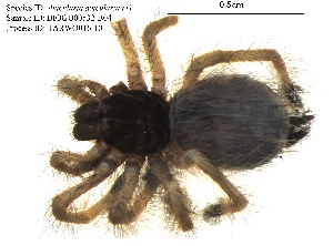 (Avicularia avicularia - BIOGU00532-B04)  @11 [ ] CreativeCommons – Attribution (by) (2013) Michael Morra Biodiversity Institute of Ontario