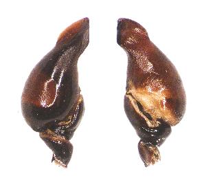 (Brachypelma auratum - BM-1036WK-A03)  @11 [ ] CreativeCommons - Attribution Share-Alike (2016) Michael Morra Centre for Biodiversity Genomics