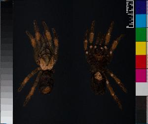 (Brachypelma emilia - BIOGU00532-E04)  @11 [ ] CreativeCommons – Attribution (by) (2014) Michael Morra Centre for Biodiversity Genomics
