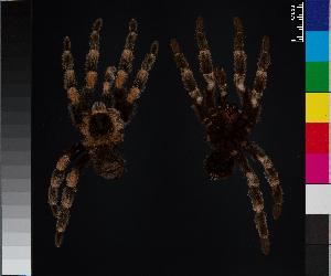 (Brachypelma smithi - BM-1036WK-A04)  @11 [ ] CreativeCommons – Attribution (by) (2014) Michael Morra Centre for Biodiversity Genomics