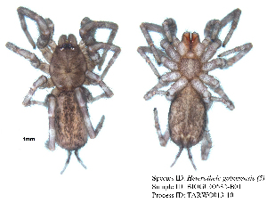 (Heterothele - BIOGU00532-B01)  @11 [ ] CreativeCommons – Attribution (by) (2013) Michael Morra Biodiversity Institute of Ontario