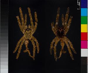 (Pterinochilus - BIOGU00532-H04)  @11 [ ] CreativeCommons – Attribution (by) (2014) Michael Morra Centre for Biodiversity Genomics