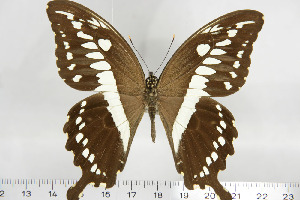 (Papilio constantinus - BC-TB6888)  @13 [ ] Copyright (2010) Thierry Bouyer Research Collection of Thierry Bouyer