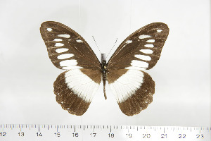 (Papilio zoroastres - BC-TB6944)  @11 [ ] Copyright (2010) Thierry Bouyer Research Collection of Thierry Bouyer