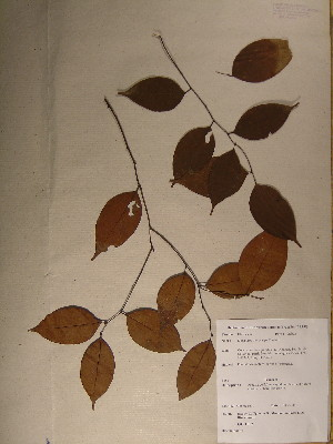 (Diospyros melocarpa - GiD0173)  @11 [ ] No Rights Reserved  Unspecified Unspecified