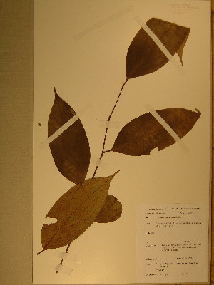 (Diospyros kamerunensis - GiD0239)  @11 [ ] No Rights Reserved  Unspecified Unspecified
