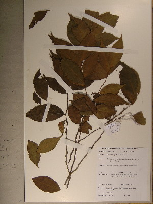 (Diospyros sp8 aff melocarpa - GiD0452)  @11 [ ] No Rights Reserved  Unspecified Unspecified