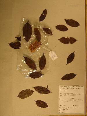 (Diospyros rabiensis - GiD1324)  @11 [ ] No Rights Reserved  Unspecified Unspecified