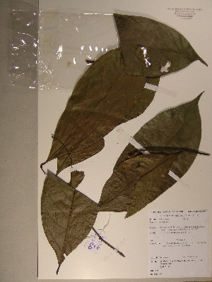 (Diospyros sp. 6 - GiD1335)  @11 [ ] No Rights Reserved  Unspecified Unspecified