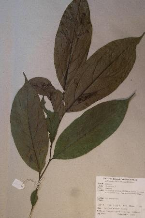 (Diospyros sp. 2 - Diossp2_PM4952)  @11 [ ] No Rights Reserved  Unspecified Unspecified