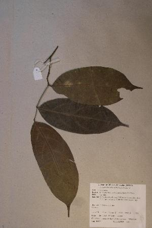 (Diospyros iturensis - Diositur_PM5005)  @11 [ ] No Rights Reserved  Unspecified Unspecified