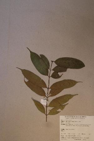 (Calophyllaceae - Endocalo_PM5276)  @11 [ ] No Rights Reserved  Unspecified Unspecified
