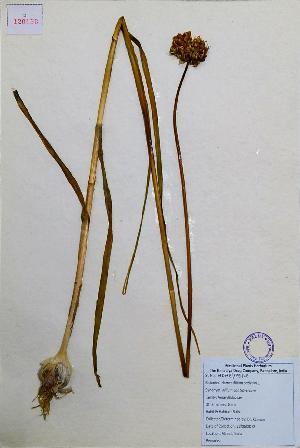 (Allium sativum - 120158)  @11 [ ] Copyrights (2013) R&D centre The Himalaya Drug company