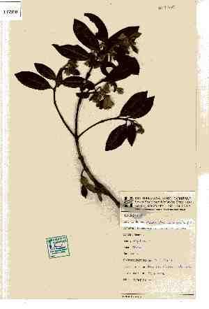 (Rhodomyrtus - 107900)  @11 [ ] Copyright (2015) R&D Centre The Himalaya drug company