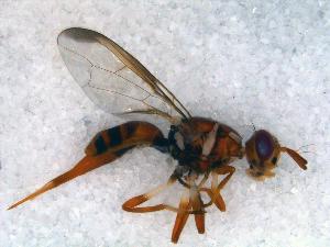 (Dacus siliqualactis - DNA 20090517-01)  @14 [ ] Copyright (2010) B.T. Reijnen NCB Naturalis