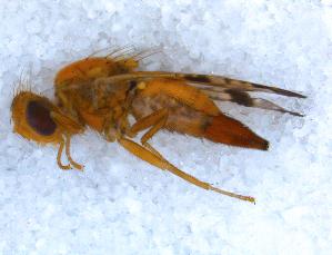 (Tephritidae - DNA 20090613-12)  @16 [ ] Copyright (2010) B.T. Reijnen NCB Naturalis