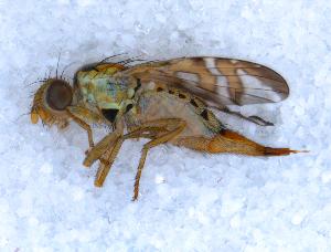 ( - DNA 20090707-54)  @13 [ ] Copyright (2010) B.T. Reijnen NCB Naturalis