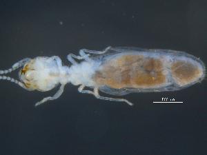(Cubitermitinae - UF_AFR1664)  @11 [ ] nrr (2014) Rudi Scheffrahn University of Florida