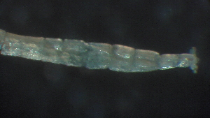 (Microchironomus - 3J18)  @12 [ ] Copyright (2012) Jeffrey Ram Wayne State University School of Medicine
