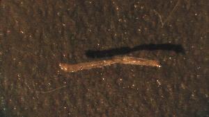 (Pseudochironomus - 4W9)  @11 [ ] Copyright (2012) Jeffrey Ram Wayne State University School of Medicine
