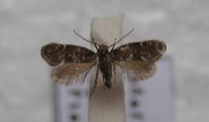 (Eotaleporia - CLV511012)  @11 [ ] Copyright (2012) Olivier Bouteleux Institut National de la Recherche Agronomique, Forestry Zoology