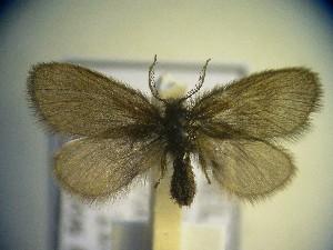 (Epichnopterix montana - CLV5123)  @14 [ ] Copyright (2012) Olivier Bouteleux Institut National de la Recherche Agronomique, Forestry Zoology