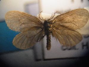(Epichnopterix sieboldi - CLV5124)  @14 [ ] Copyright (2012) Olivier Bouteleux Institut National de la Recherche Agronomique, Forestry Zoology