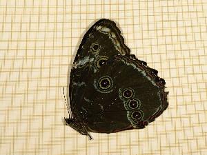 (Morpho deidamia - CLV5162)  @13 [ ] Copyright (2012) Olivier Bouteleux Institut National de la Recherche Agronomique, Forestry Zoology