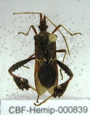 (Crinoceros - CBF - Hemip - 000839)  @11 [ ] Copyright (2011) CBF Coleccion Boliviana de Fauna