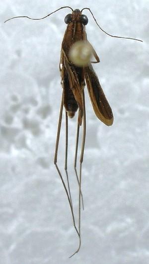 (Heniartes - CBF - Hemip - 001739)  @11 [ ] Copyright (2012) CBF Colección Boliviana de Fauna