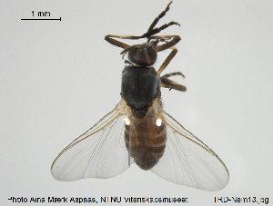 (Simulium ornatum s.l - TRD-Nem13)  @14 [ ] CreativeCommons - Attribution Non-Commercial Share-Alike (2015) NTNU University Museum, Department of Natural History NTNU University Museum, Department of Natural History